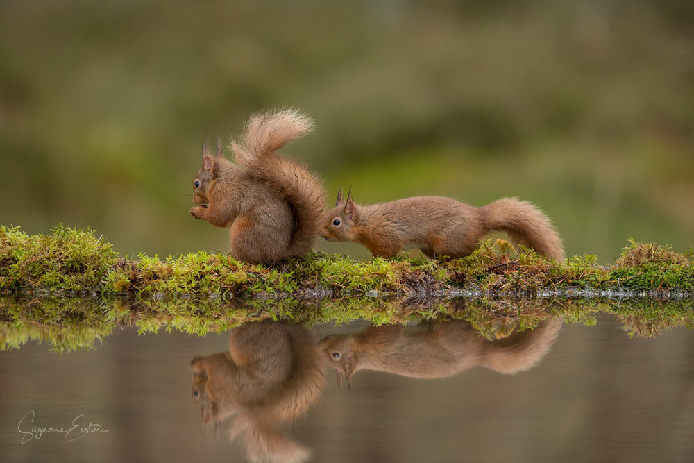 Red Squirrel sniffing