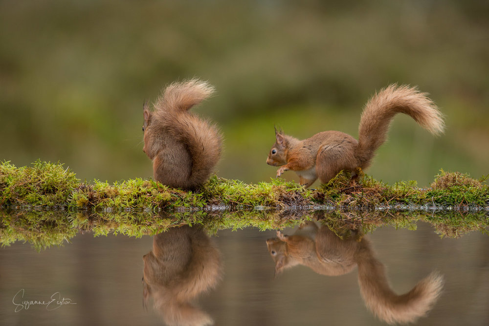 Red squirrel retreat