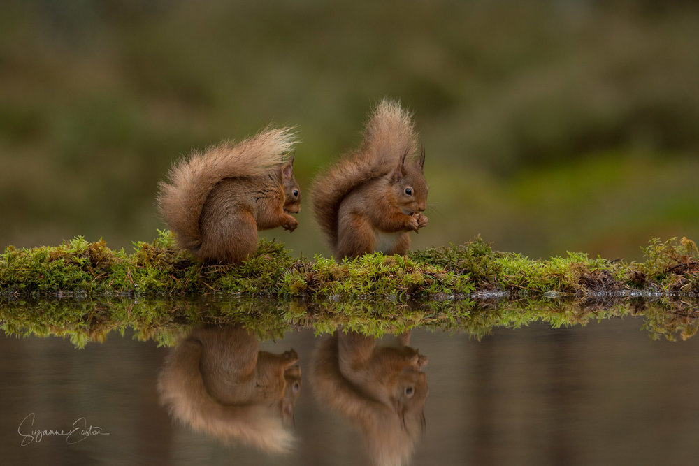 Red squirrel friends