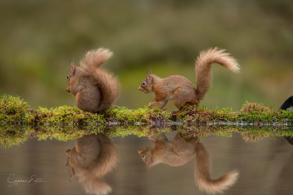 Red squirrel thinking