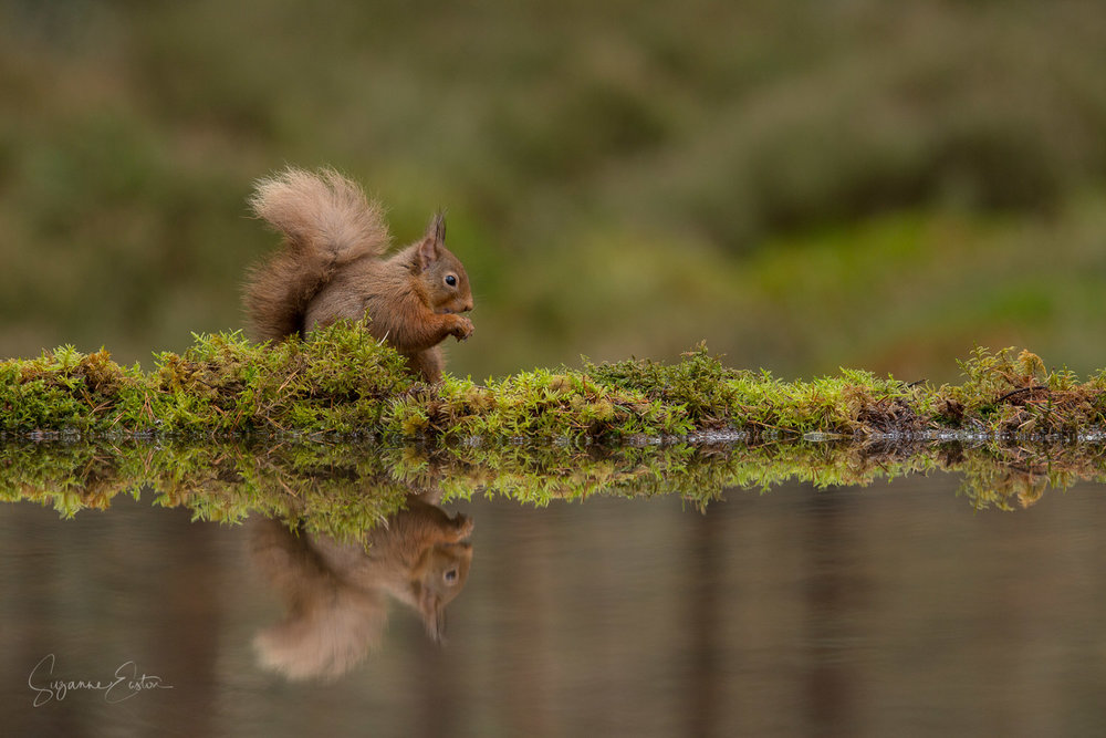 red squirrel calm
