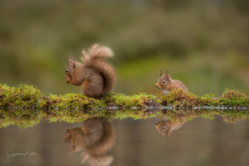 Red squirrel sneaking up
