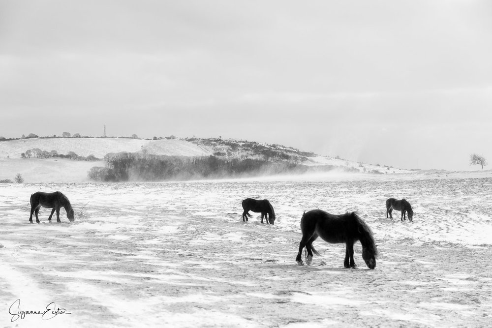 Exmoor ponies in snow