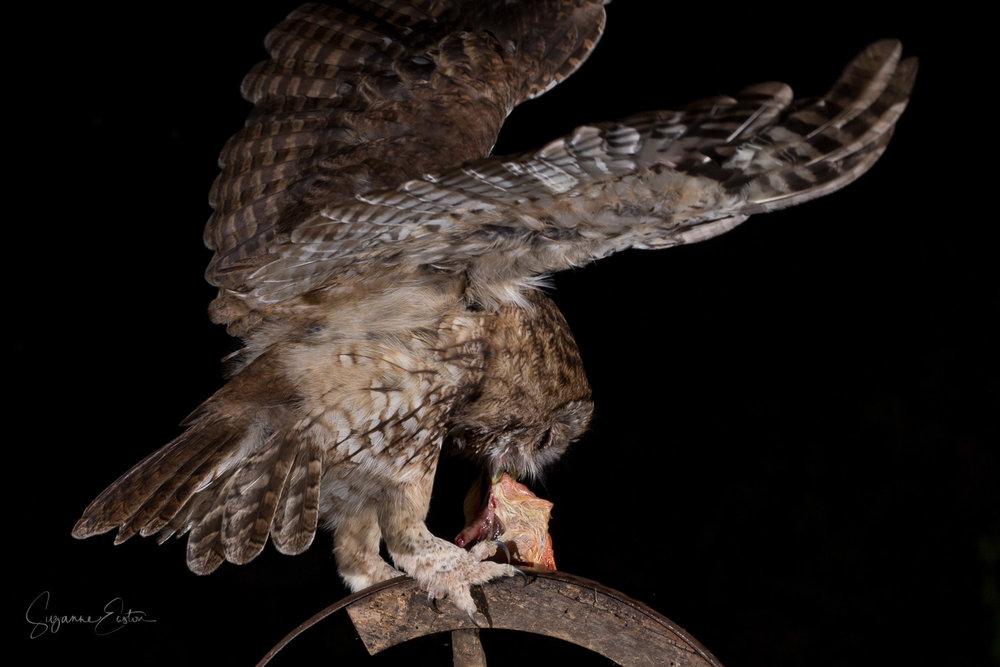 Tawny owl feeding