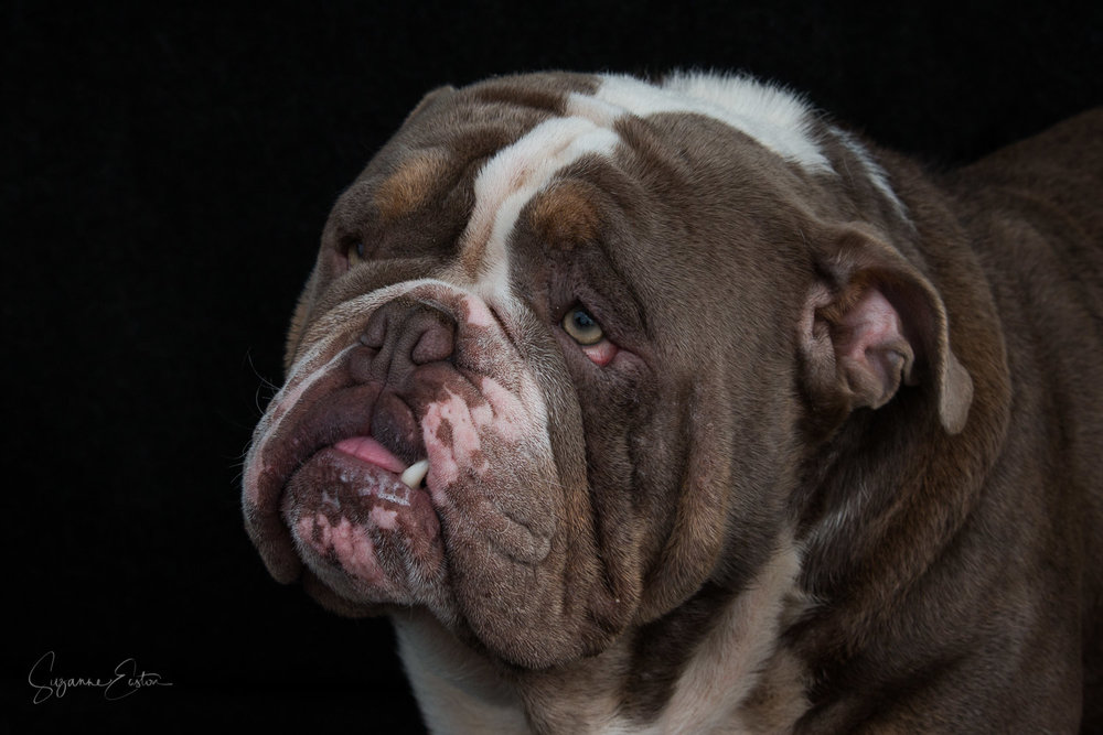 Arnie Bulldog photography