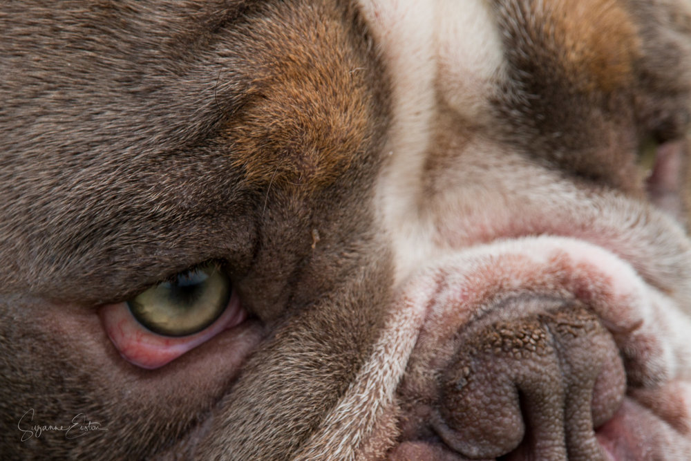Bulldog face photography
