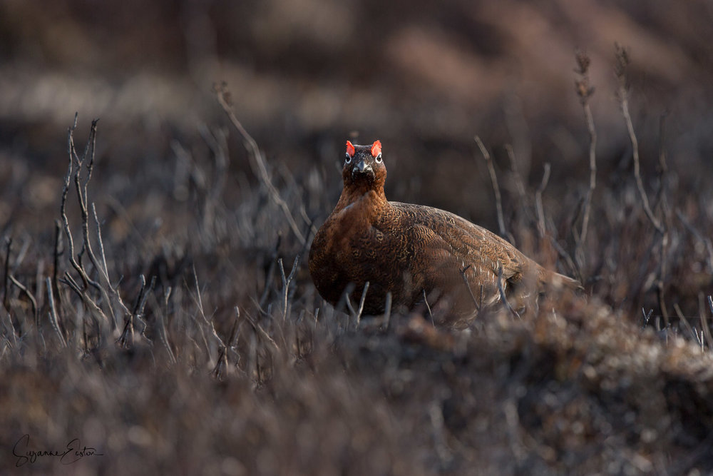 Red grouse looking through heather