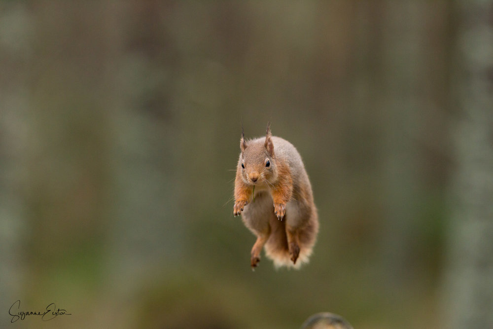 Highland squirrel