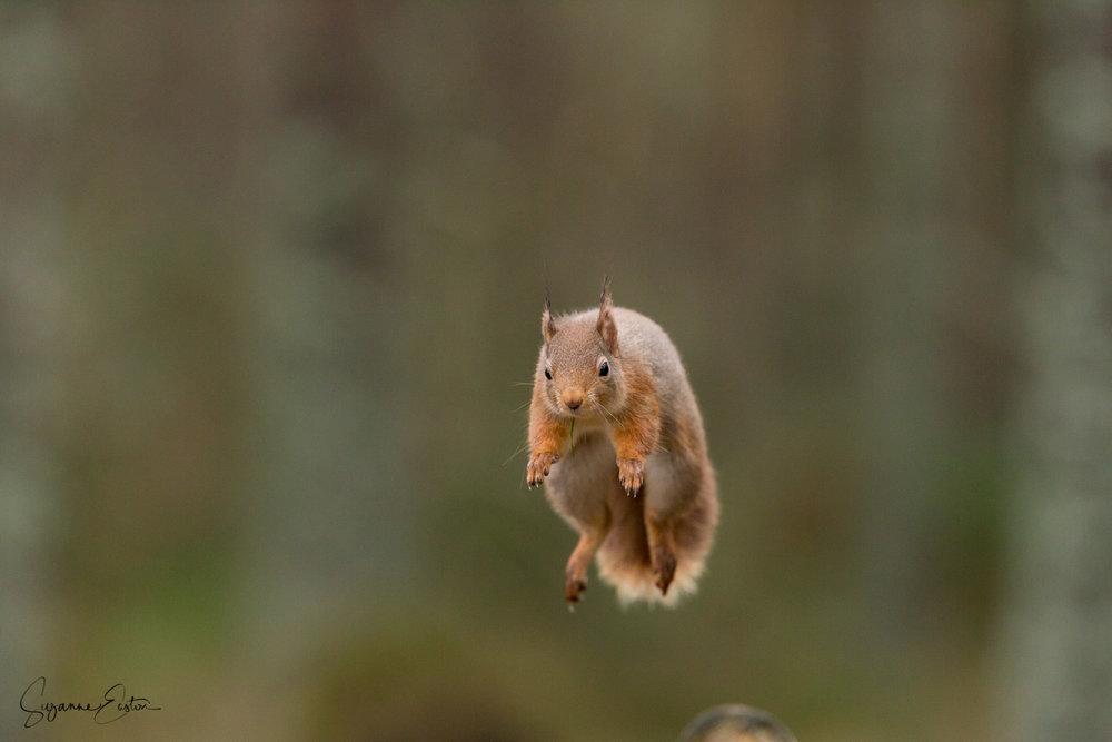 Highland squirrel