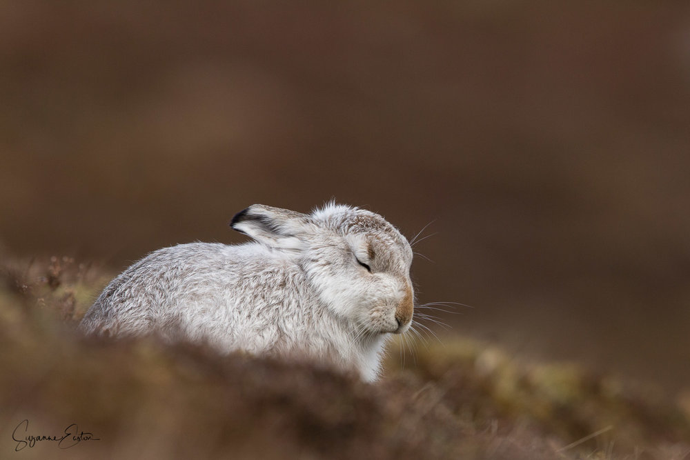 Dozing mountain hare