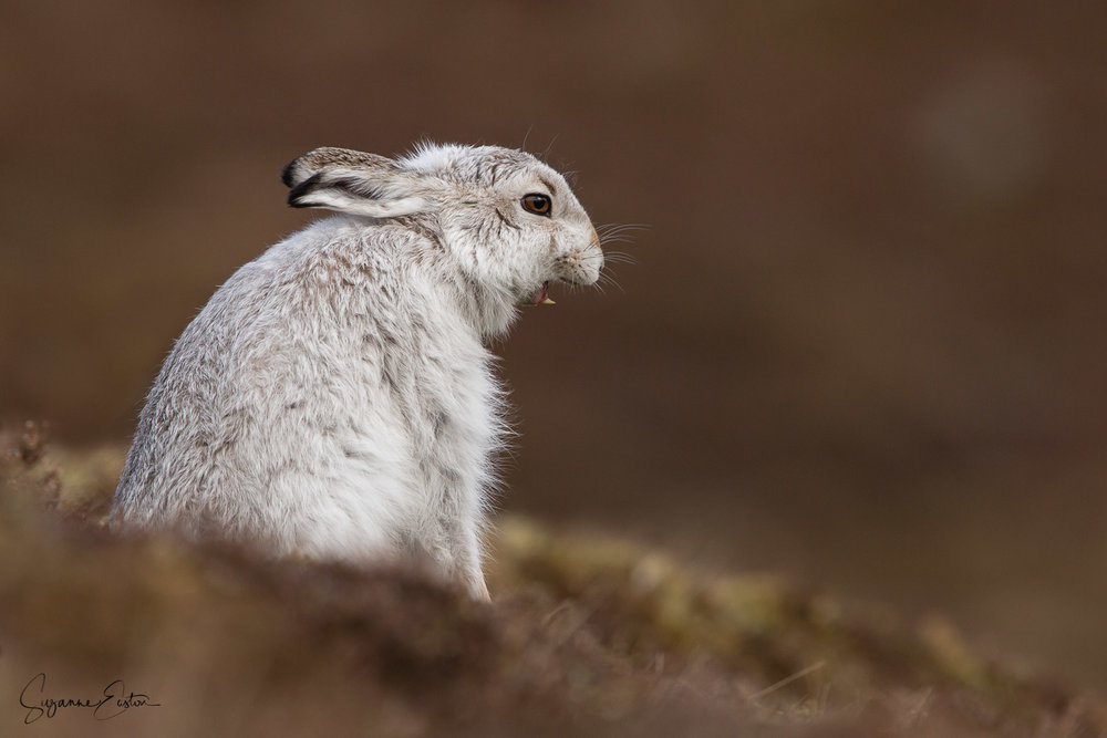 Yawning mountain hare