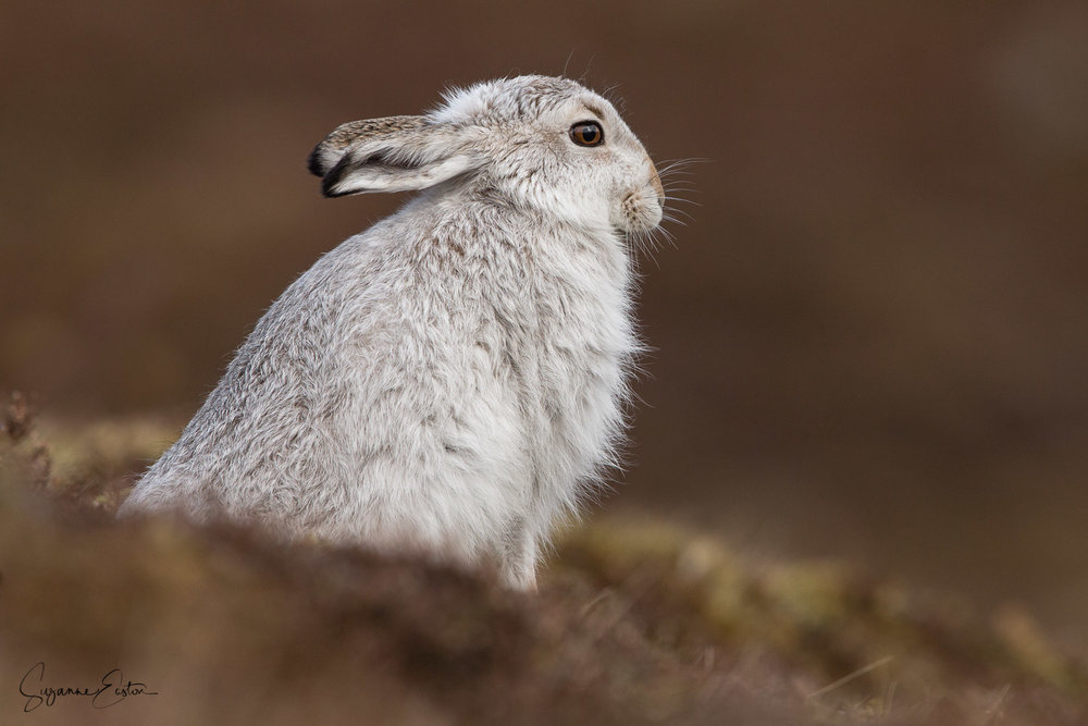 Stretching mountain hare