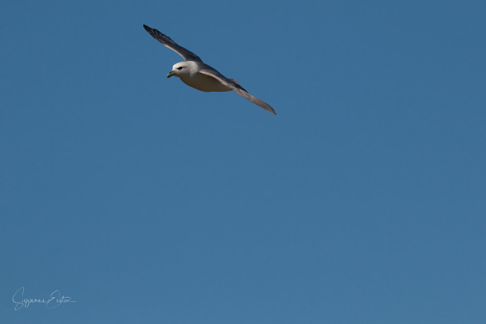 Fulmar above Rousay in a blue sky