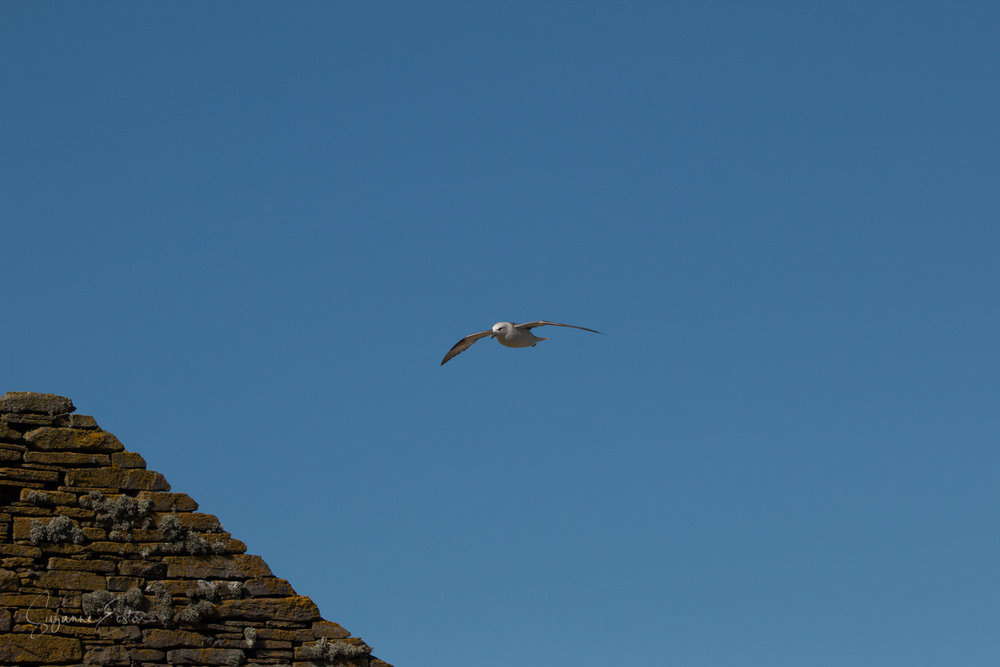 Fulmar above the ruined house on Rousay