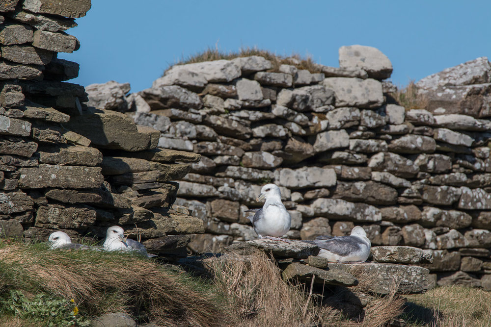Fulmar sitting on a stone in a ruined house on Rousay