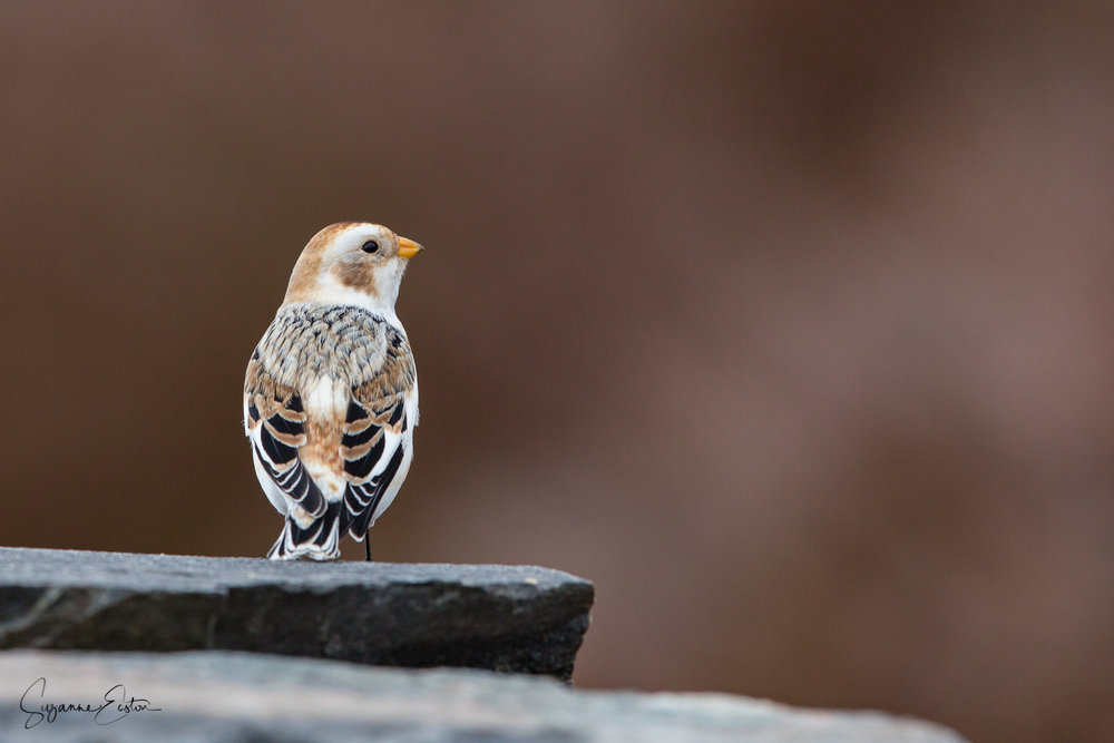A snow bunting in the Scottish higlands.