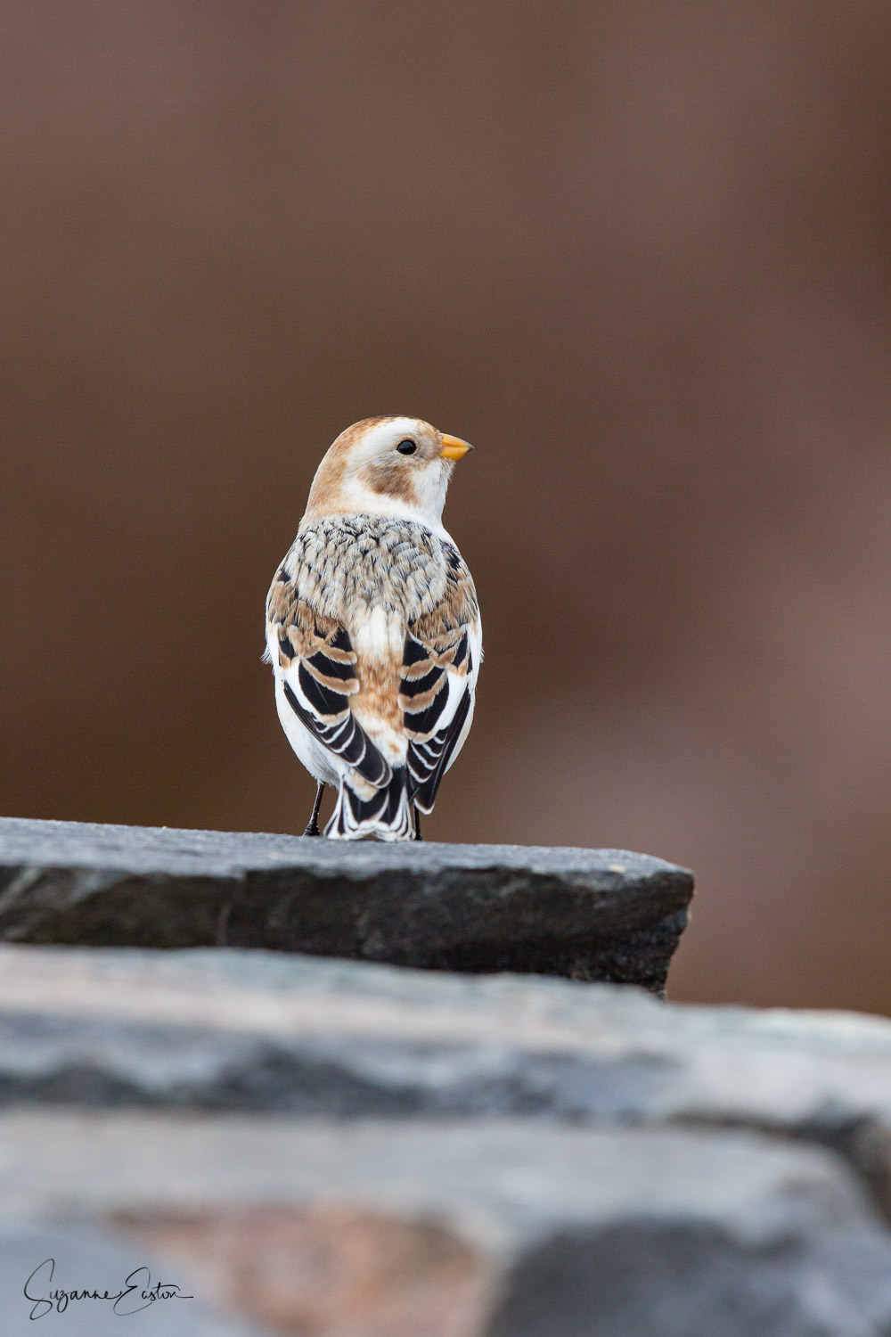 A snow bunting in the Scottish Highlands