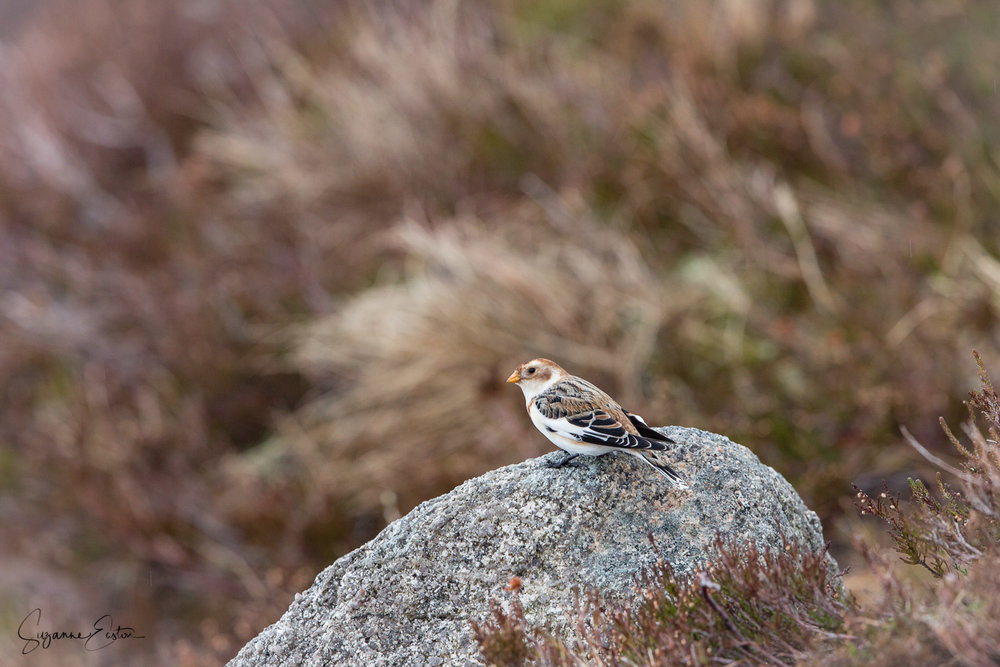Snow bunting on a rock