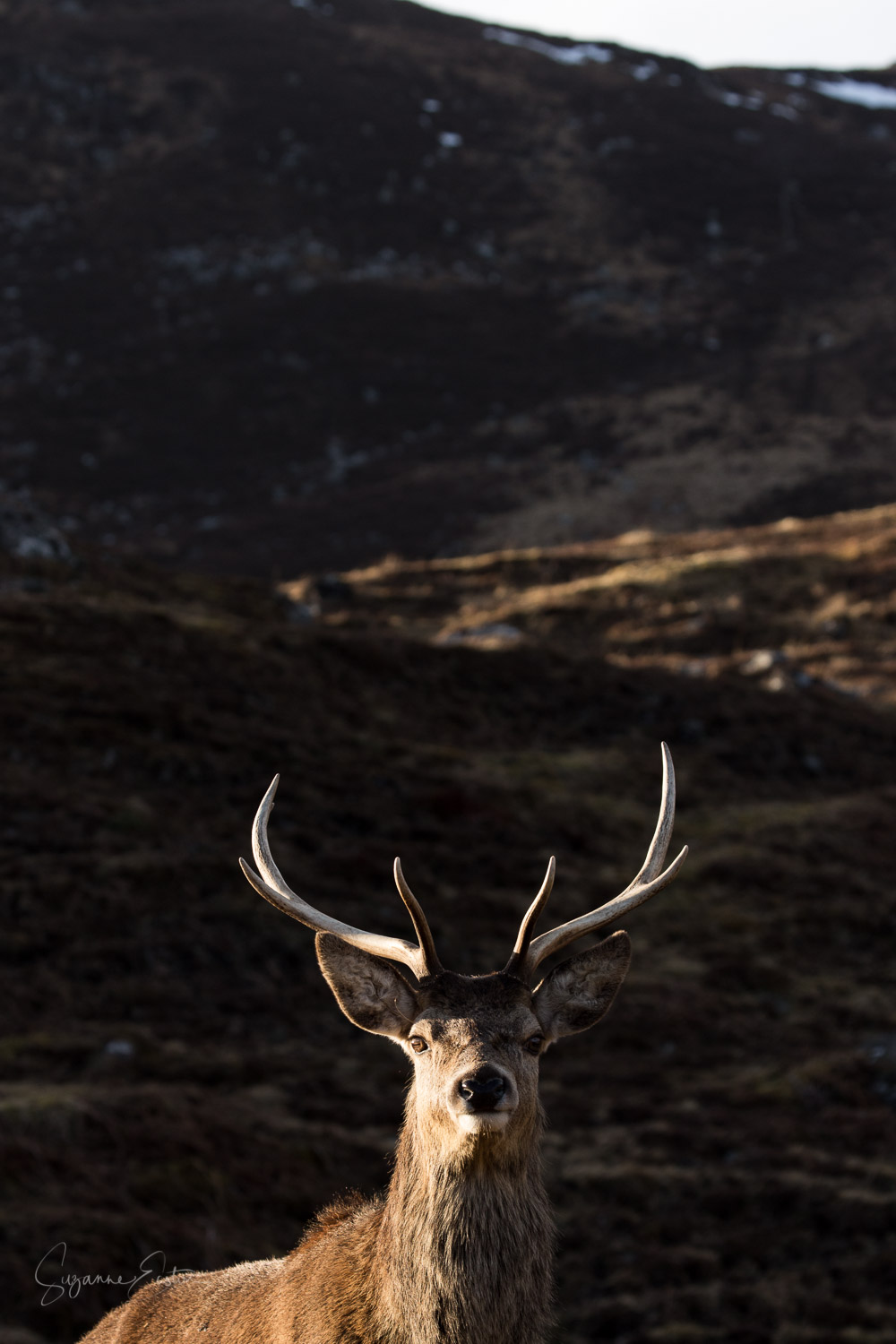 stag in winter sunlight