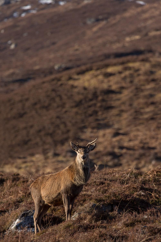 Red deer in the Scottish highlands