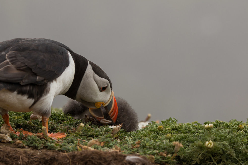 Puffin nudging its dead chick