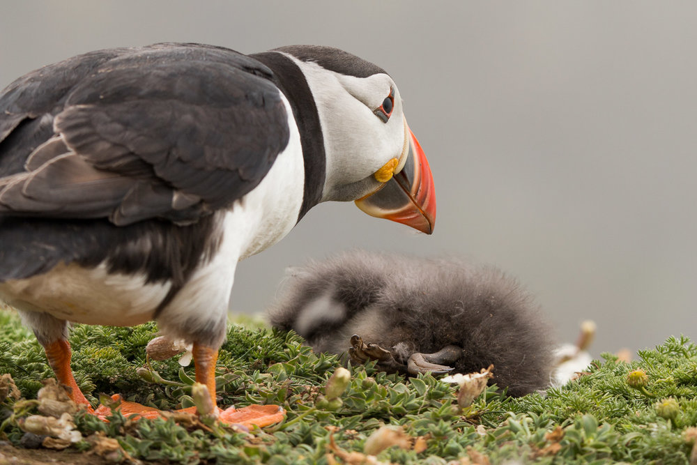 Adult puffin with dead puffling