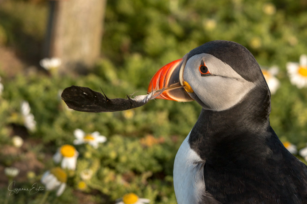 Puffin with a feather for the burrow