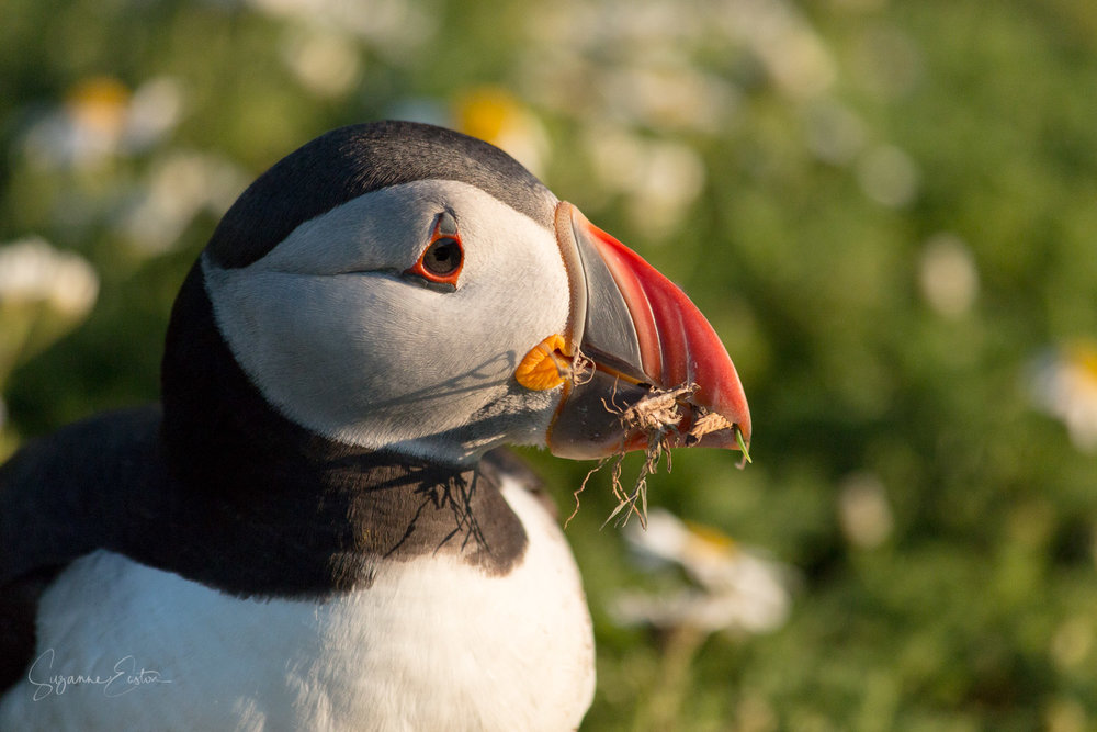Puffin with twigs for his burrow