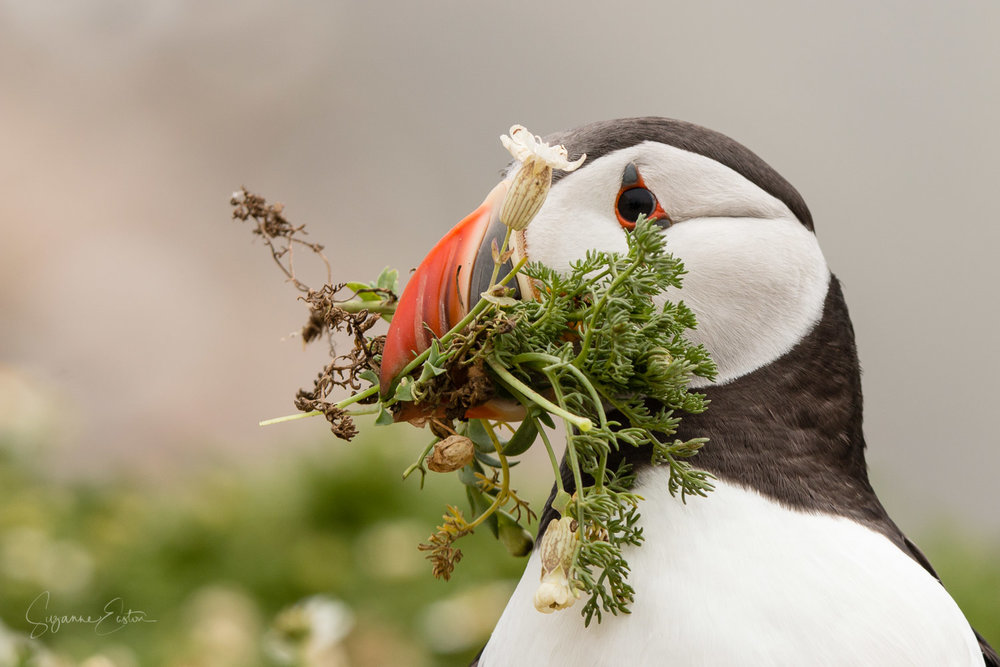 Puffin with camomile for the burrow