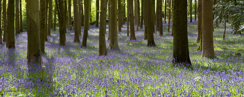 The native English bluebell Hyacinthoides non-scripta carpets the woodland in a fragrant blue carpet in April and May