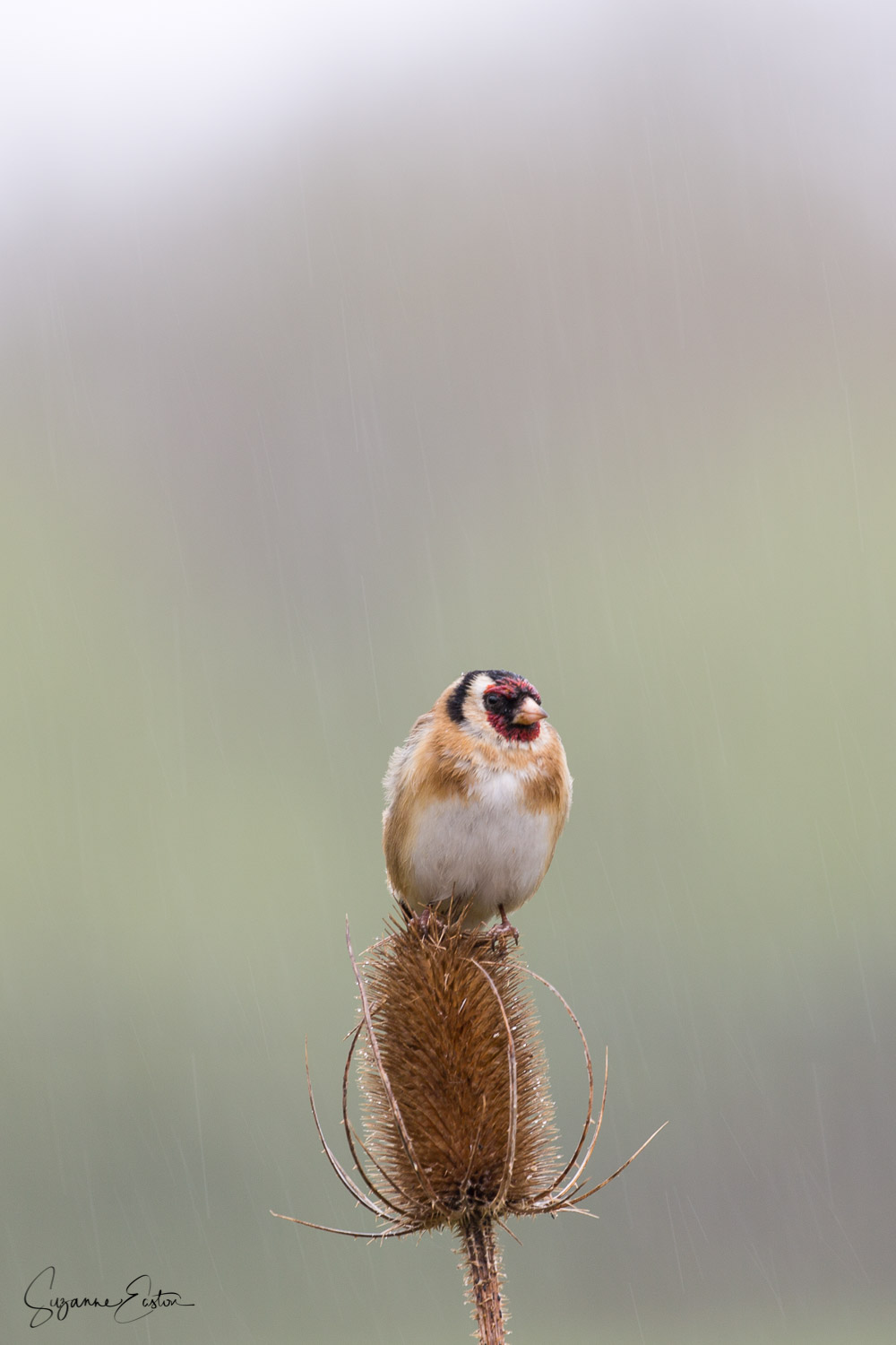 A wet goldfinch sitting on a thistle in the rain