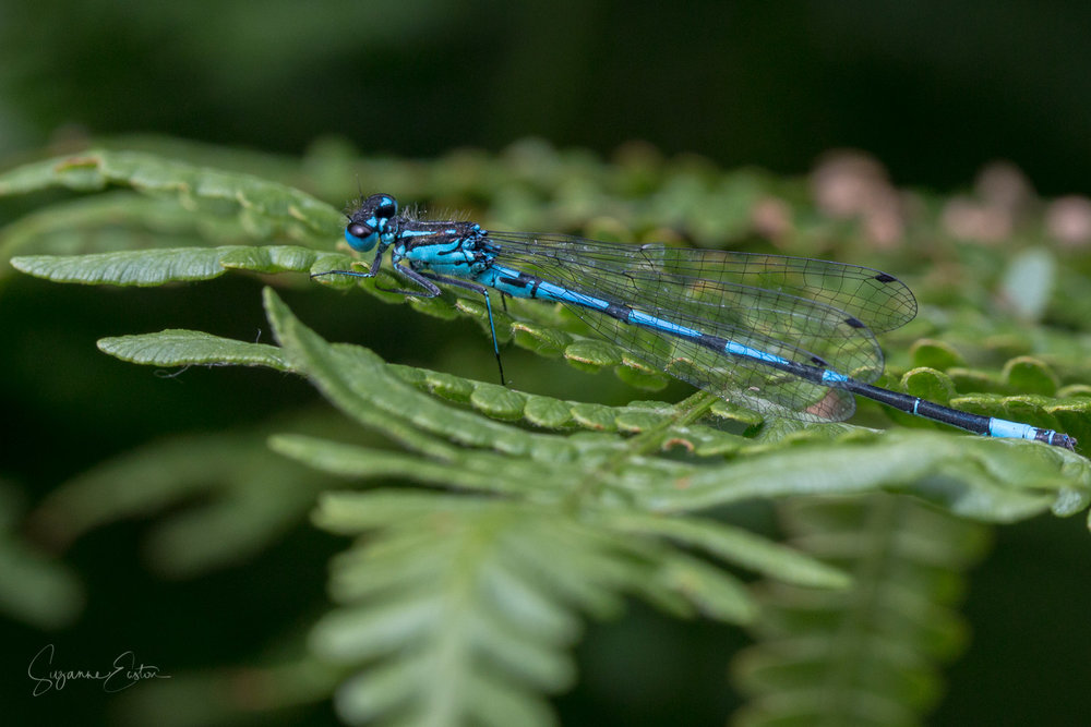 Single damselfly basking in the sun