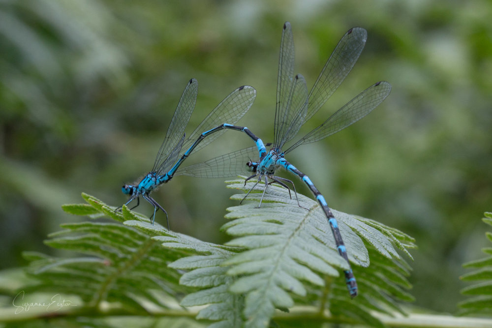 Damselflies starting a wheel