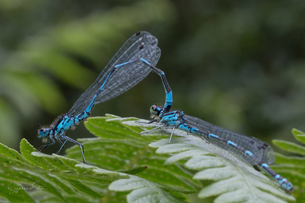 Damselfly mating wheel