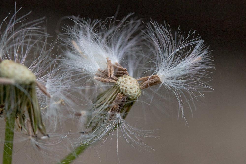 Hawkweed seed head
