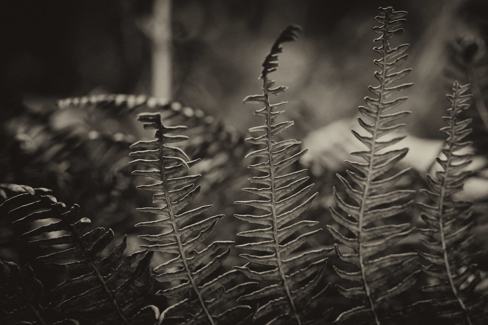 Dried bracken in sepia