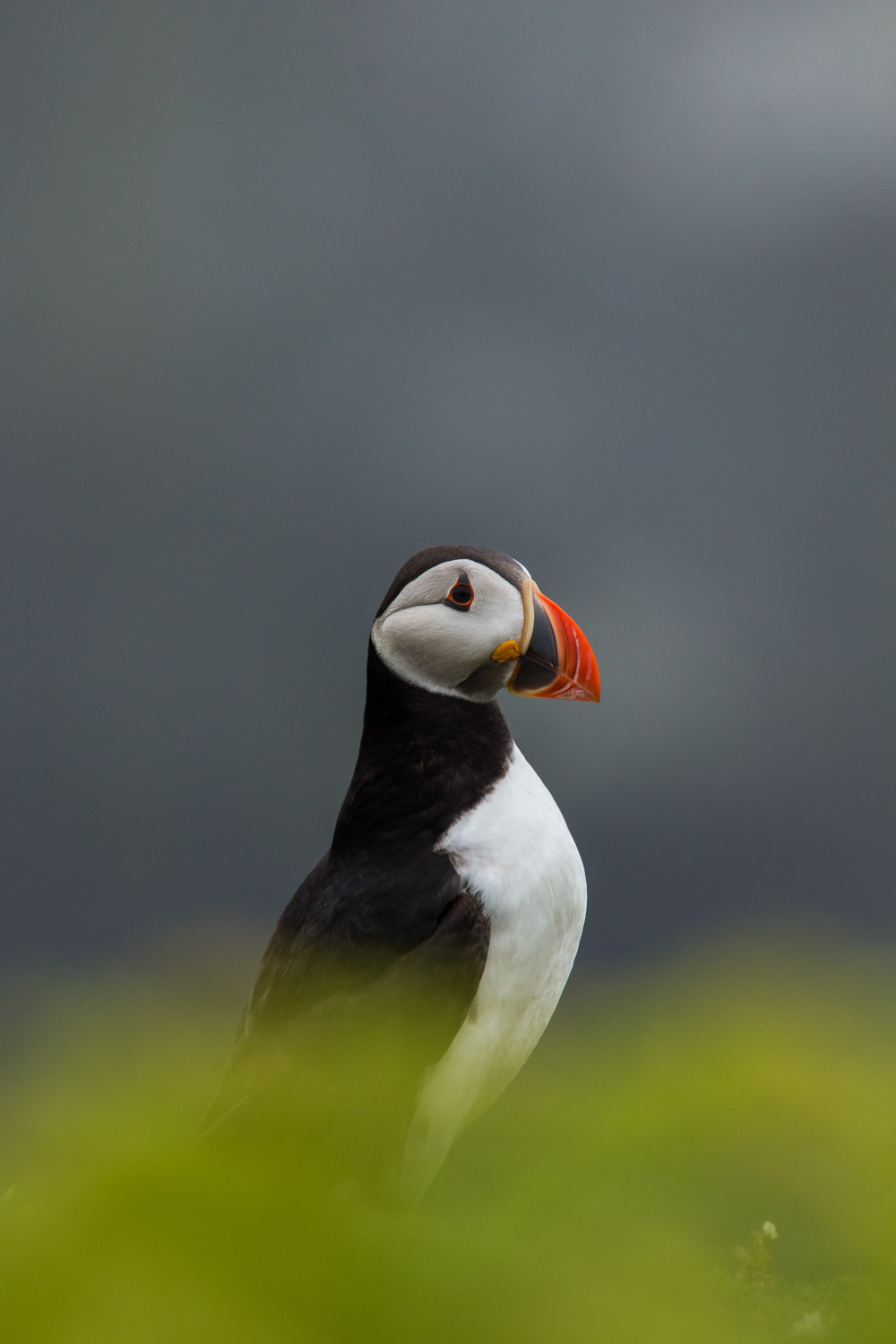 A puffin standing proud with a green foreground and grey background