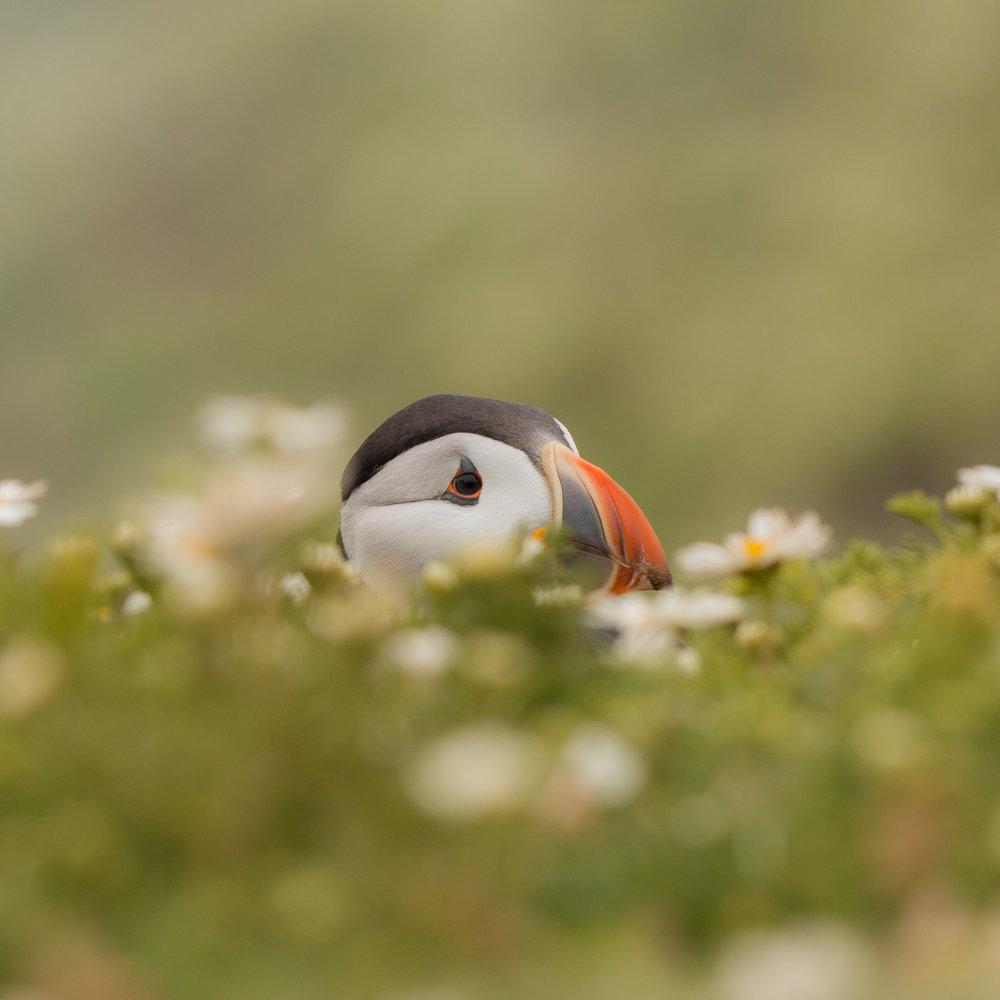 Puffin hiding in the chamomile on Skomer Island in Pembrokeshire