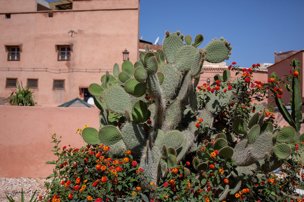 Prickly pear in the centre of Marrakech