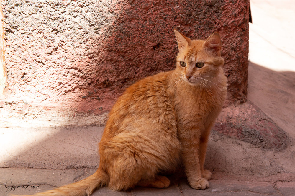 A beefy ginger tom cat living feral on the streets of Marrakech