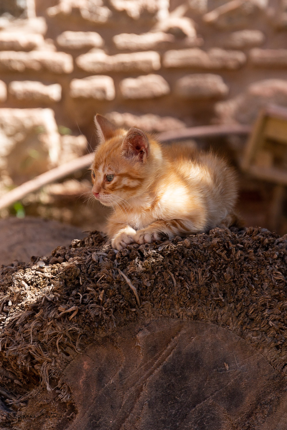 This tiny ginger kitten was not as alone as he looked.  Mum was nearby snoozing under a tree in the mosque gardens