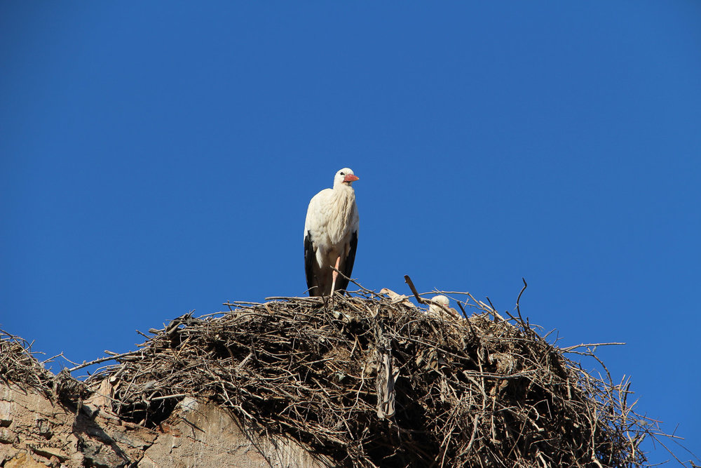 A stork in the centre of Marrakech