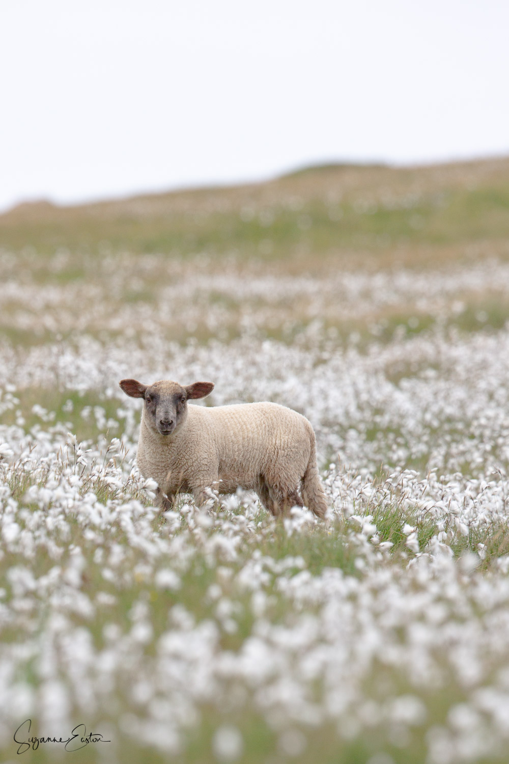 Sheep live in the herb rich cotton grass on the coast of Shetland