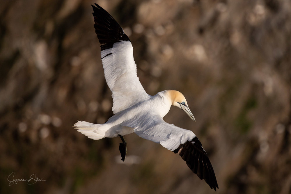 An adult gannet with its distinctive white body and black wing tips on the cliffs at Hermaness in Shetland