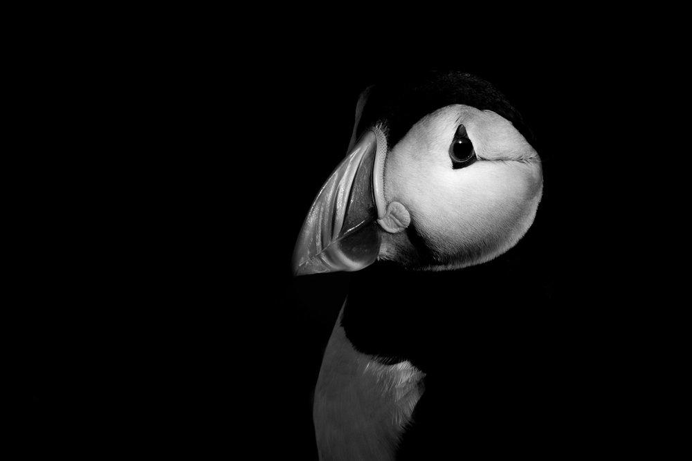puffin-10.jpg
