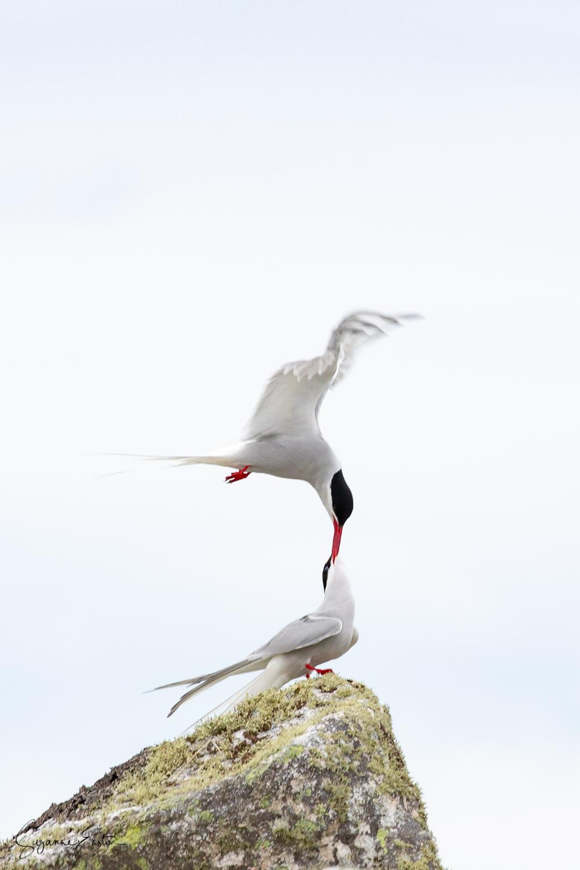 tern courtship-2.jpg