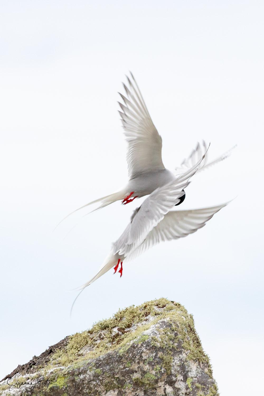 tern courtship-3.jpg
