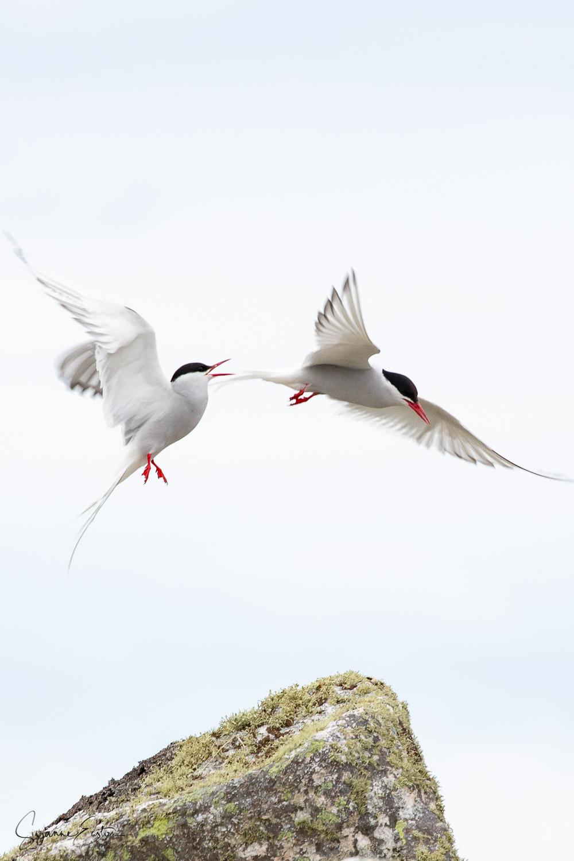 tern courtship-4.jpg