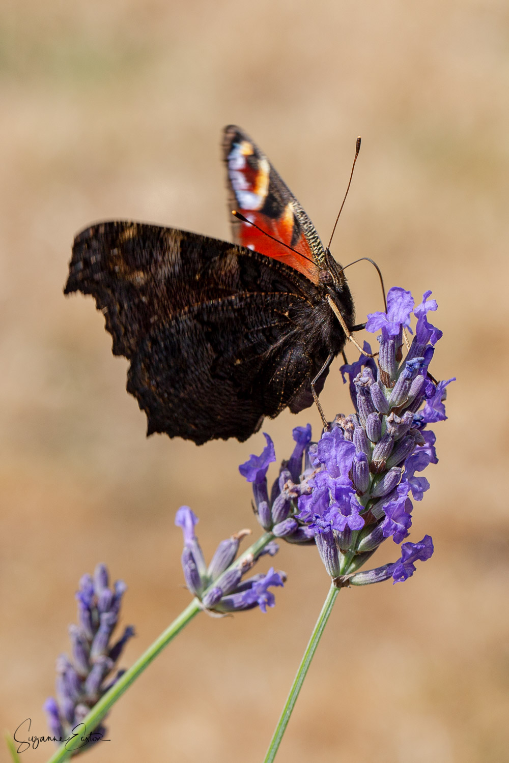 The peacock butterfly feeds and basks on a lavender flower in Somerset