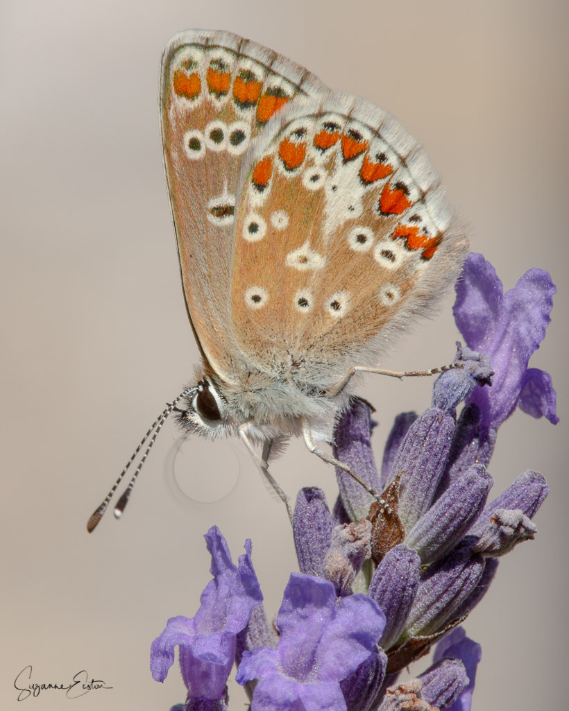 common blue butterfly with moving proboscis
